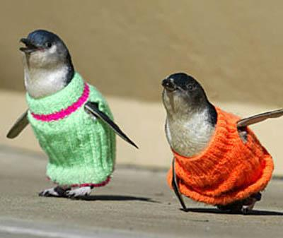 Mormon women in New South Wales are knitting sweaters for penguins. Doll size, tight-fitting wool sweaters keep this breed of