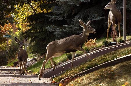 Deer, like these in Salt Lake City, are a fraction of the wildlife residing in the valley or wandering in from what is known as the