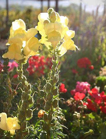Gardening snapdragons hardiness surprises the salt lake tribune snapdragons are a traditional favorite in utah gardens although technically a perennial these flowers mightylinksfo