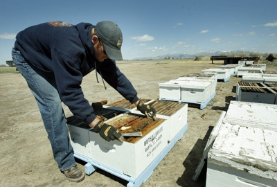 Chris Dutson checks hives at a family honey farm near Delta. The Dutsons have lost half of their hives, perhaps from Colony Collapse Disorder, a mysterious malady for which researchers cannot pinpoint the cause.