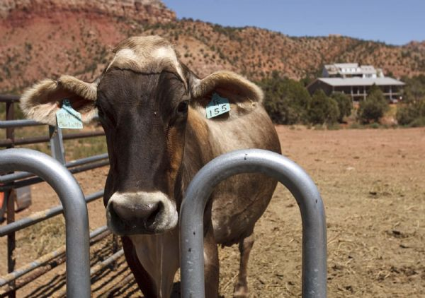 One of Finney Farm's Brown Swiss cows. Winford and Carolena Barlow run the Finney Farm Home Dairy in Hildale, where they sell raw milk, cheese and other products.