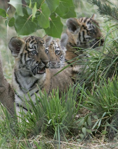 Three Male Amur Tiger Cubs Born On June 2 At The Hogle Zoo In Salt
