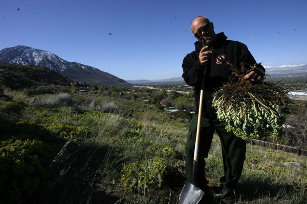 Rick Egan   |  The Salt Lake Tribune  Mike Duncan, botanist for the Wasatch/Cache National Forest, digs up some myrtle spurge in the foothills above Salt Lake City,  Friday, May 7, 2010.