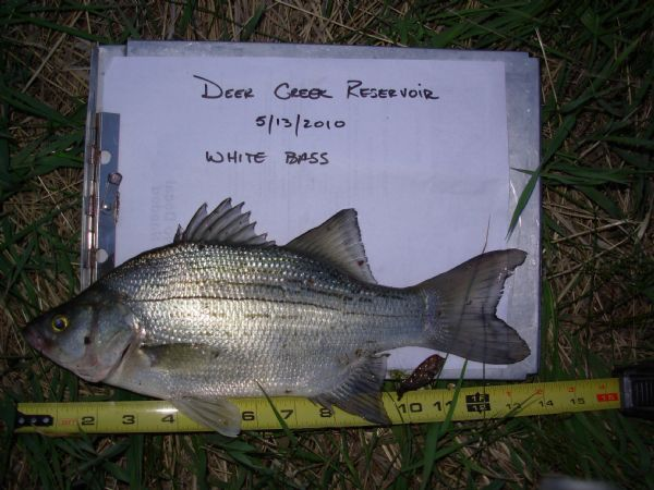 New fish found in deer creek reservoir biologists not for Deer creek fishing