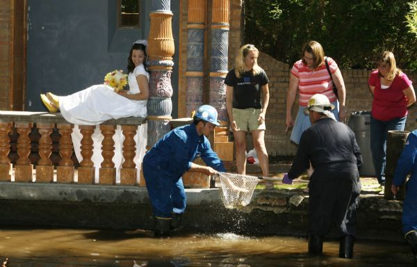 Francisco Kjolseth     The Salt Lake Tribune     Salt Lake City - Brad Heller with Earthfax Engineering, one of the main consultants for Chevron, center, scoops up a Bonneville trout as Erin Swensen carries on with her wedding photos at the Garden Park LDS Ward in Salt Lake despite the oily mess. Crews were on hand trying to save the remaining Bonneville trout in the small pond.