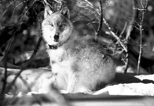 FILE - In this Jan. 9, 2003 file photo provided by the U.S. Fish and Wildlife Service, a gray wolf watches biologists in Yellowstone National Park, Wyo., after being captured and fitted with a radio collar. Hunting outfitters are planning a rally on the town square in Jackson in mid-March 2010 to call attention to declining elk herds and hunting opportunities around Yellowstone National Park that they blame on wolf depredation. (AP Photo/ U.S. Fish and Wildlife Service, William Campbell)