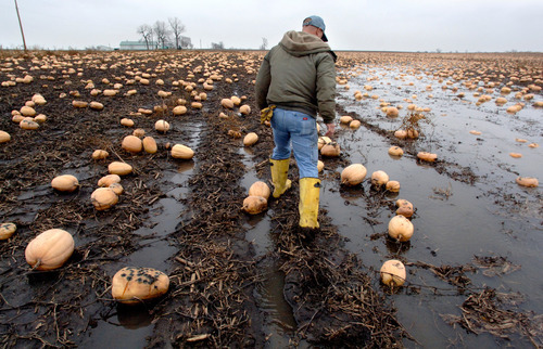 Leslie Renken  |  Assocated Press file photoFILE - In this file photo taken Nov. 19, 2009, pumpkin farmer John Ackerman walks through a neighbor's waterlogged pumpkin field in Washington Township, Ill. Bad weather led to a pumpkin shortage last year for Nestle, which sells nearly all the canned pumpkin in the U.S. under its Libby's brand. But the company says there should be enough to go around this year. (AP Photo/The Journal Star,