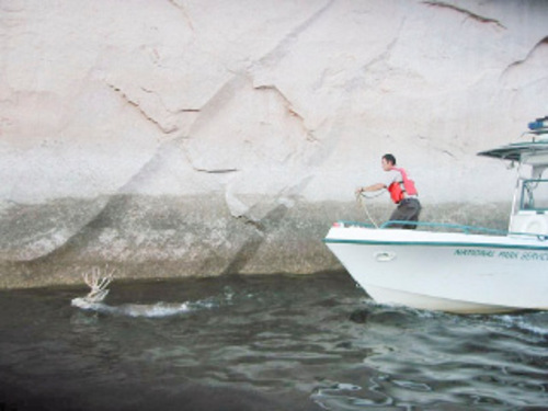 Cheston Slater  |  Utah State Parks Sean Spencer, a conservation officer with the Utah Division of Wildlife Resources, attempts to lasso a mule deer at Lake Powell. The buck was trapped in Moqui Canyon. Officials from the National Park Service, Division of Wildlife Resources and Utah State Parks rescued the buck and moved it to safety.