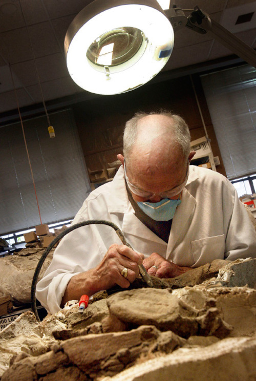 Scott Sommerdorf  l  The Salt Lake Tribune Volunteer Mel Carroll works on a fossil of a Gryposaur at the The Utah Museum of Natural History. Volunteers like Carroll doing this work at the museum can be seen working on fossils that will be part of future displays. The Utah Museum of Natural History is staging its last