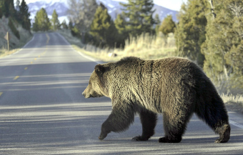 FILE - In this May 4, 2009 file photo, a grizzly bear walks across a road near Mammoth, Wyo., in Yellowstone Park. Grizzly bear numbers in the three-state region in and around Yellowstone National Park have hit their highest level in decades. At least 603 grizzlies now roam the Yellowstone area of Wyoming, Montana and Idaho. (AP Photo/The Billings Gazette, David Grubs, File)