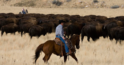 Djamila Grossman  |  The Salt Lake TribuneA rider helps move a herd of bison in the 24th annual bison roundup on Antelope Island, Friday, October 29, 2010.
