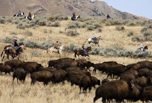 Djamila Grossman  |  The Salt Lake TribuneRiders move a herd of bison in the 24th annual bison roundup on Antelope Island, Friday, October 29, 2010.