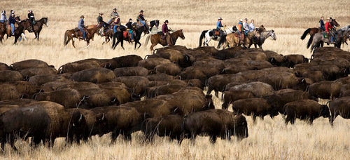 Djamila Grossman  |  Tribune file photo  Riders move a herd of bison in the 2010 annual bison roundup on Antelope Island. This year's roundup is Friday and Saturday.