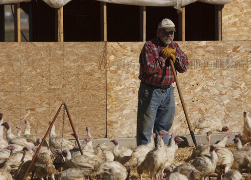 Leah Hogsten  |  The Salt Lake Tribune Curtis Anderson, above, tends to the flock of broad-breasted white turkeys on his son's farm.