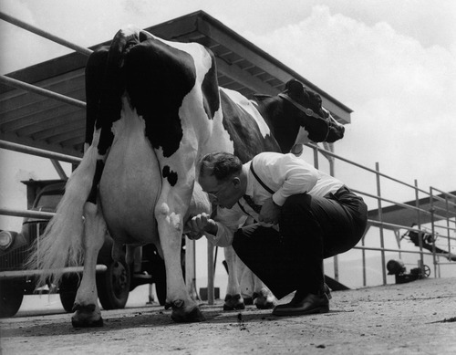 U.S. Secretary of Agriculture Ezra Taft Benson, responding to a question about whether he can milk a cow, samples milk directly from a Holstein while visiting Pennsylvania State University's farm in State College, Pa., in June of 1954. (AP Photo/Paul Vathis)