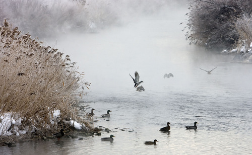 Al Hartmann  |  The Salt Lake Tribune  Mallard Ducks rise off the Jordan River at 7400 South along the Jordan River Parkway.  It is an area of the Midvale slag EPA Superfund Jordan River riparian project. A section of the ped-bike trail closed before Thanksgiving has reopened. The riverbank, now buttressed with rock rip-rap berming, will be planted with willows and other good vegetation in the spring. This is the final element of the Midvale slag cleanup and is supposed to ensure the riverbank doesn't erode and release contaminants buried at the slag site back into the water.