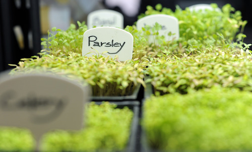 Sarah A. Miller  |  The Salt Lake Tribune  Parsley and other herbs and vegetables grow as microgreens at Mountain Valley Seed Co. in Salt Lake City. Microgreens are becoming popular for home cooks to grow indoors for themselves.