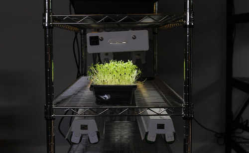Sarah A. Miller  |  The Salt Lake Tribune  Cilantro plants grow as microgreens at Mountain Valley Seed Co. in Salt Lake City. Microgreens are becoming a popular option for home cooks to grow indoors for themselves.