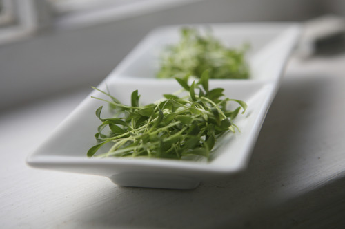 Microgreens can be grown from a variety of seeds including these Mizuna mustard microgreens Courtesy Mountain Valley Seed Co.