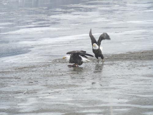The bald eagles are feeding at Farmington Bay off Glover Lane in Davis County.   Photo Carol Lindsay