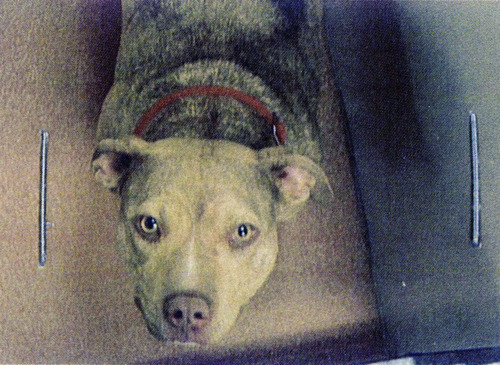 Sunny, an abandoned female pit bull, was sent from a Lindon shelter to the University of Utah last year and ultimately killed after being used in a medical laboratory experiment.  The dog is the subject of a complaint being investigated by the Utah Department of Health. Courtesy Image