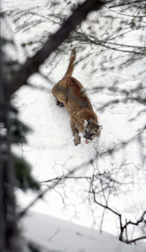 Francisco Kjolseth  |  The Salt Lake Tribune A 4-year-old female mountain lion slowly shakes off the effects of a sedative causing it to stick out her tongue after researchers from Utah State University and the Utah Division of Wildlife Resources replaced her radio-collar afer being captured in the Oquirrh Mountains recently.