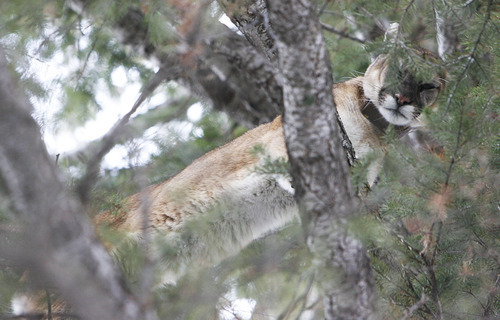 Francisco Kjolseth  |  The Salt Lake Tribune A 4-year-old female mountain lion weighing 77 pounds peers down through the branches after being chased up a tree in the Oquirrh Mountains by hounds as a team of researchers from Utah State University and the Utah Division of Wildlife Resources captured her as part of a study.