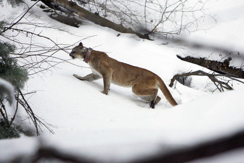 Francisco Kjolseth  |  The Salt Lake Tribune A 4-year-old female mountain lion slowly shakes off the effects of a sedative after researchers from Utah State University and the Utah Division of Wildlife Resources replaced her radio-collar afer being captured in the Oquirrh Mountains recently.