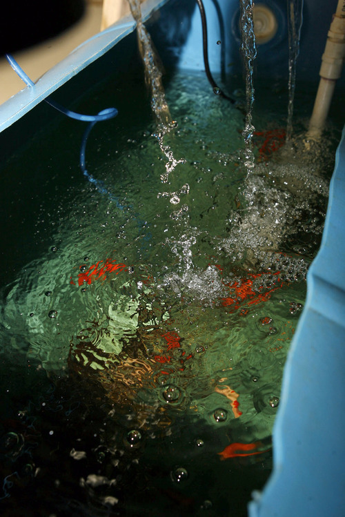 Utahn growing crops one fish at a time the salt lake for Coleman s fish