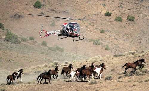 A Nevada Department of Agriculture helicopter helps round up wild horses on the Virginia Range, east of Reno, Nev. ,  Aug. 13, 2002. Wild horses and burros would have no standing for Nevada water rights under a bill making its way through the state Legislature. The six line measure defines the term