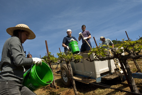 Chris Detrick | The Salt Lake Tribune  Farm camp participants help to lay down compost around the zinfandel grapevines at Saracina Ranch Winery and Vineyards in Hopland, Calif., on Friday May 6, 2011.