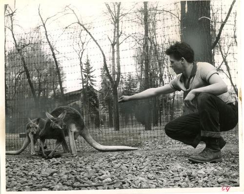 Caretaker Alan Kesler tends to kangaroos at Liberty Park in this photo dated March 26, 1951. Tribune file photo