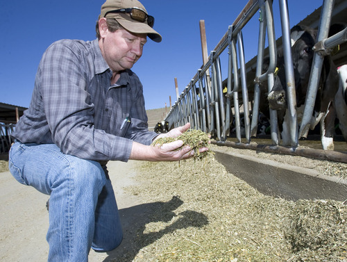 Al Hartmann   The Salt Lake Tribune  Brad Bateman checks out a blend of hay, corn, soybean, vitamins and minerals that make up a balanced diet for his dairy cows at Bateman Mosida Farm in Elberta.  The first hay crop of the season is in but came in a couple weeks late.     Hay supplies are scarce and expensive this summer because of the cold, wet  spring.