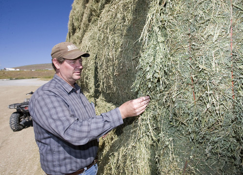 Al Hartmann     The Salt Lake Tribune  Brad Bateman checks out the first hay crop of the season at Bateman Mosida Farm in Elberta. The hay came in a couple of weeks late, and hay supplies are scarce and expensive this summer because of the cold, wet spring.