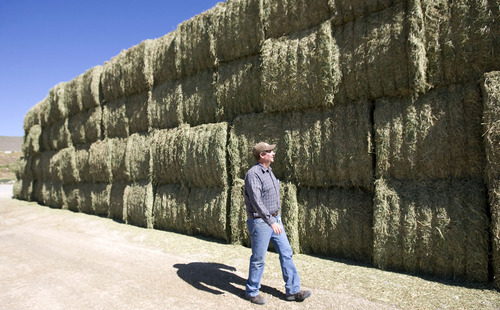 Al Hartmann   The Salt Lake Tribune  Brad Bateman walks past the first hay crop of the season at Bateman Mosida Farm in Elberta.   The hay came in a couple weeks late.     Hay supplies are scarce and expensive this summer because of the cold, wet spring.