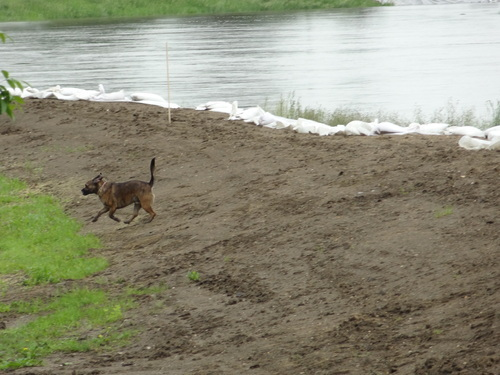 A dog runs along the bank of the rising Souris River in Minot, N.D., on Tuesday, June 21, 2011. Residents near the river spent the day filling pickups, semis and trailers with their belongings to escape flooding. (AP Photo/ The Forum, Teri Finneman)