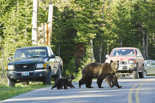 This June 2011 photo shows Grizzly bear No. 399 crossing a road in Grand Teton National Park, Wyo., with her three cubs. The bears are part of a family that's become a tourist attraction because of their frequent appearances near roads. Biologists speculate this behavior keeps at bay adult male bears, which sometimes kill cubs. (AP photo/Tom Mangelsen)