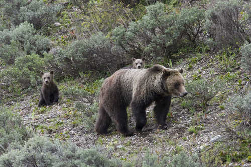 This May 2011 photo shows Grizzly bear No. 610 walking through sagebrush in Grand Teton National Park, Wyo., while her two cubs look on. The bears part of a family that's become a tourist attraction because of their frequent appearances near roads. Biologists speculate this behavior keeps at bay adult male bears, which sometimes kill cubs. (AP Photo/Tom Mangelsen)