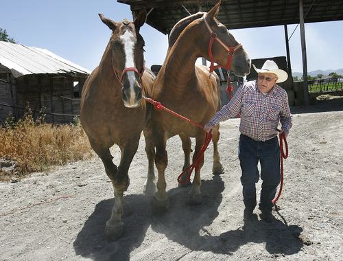 Scott Sommerdorf  |  The Salt Lake Tribune Jack McKee, 92, puts away his Belgian draft horses, Tom and Jasper, Thursday, July 14. McKee is famous for his pulling horses. He and his team of Belgian draft horses will be featured during the Days of '47 festivities.