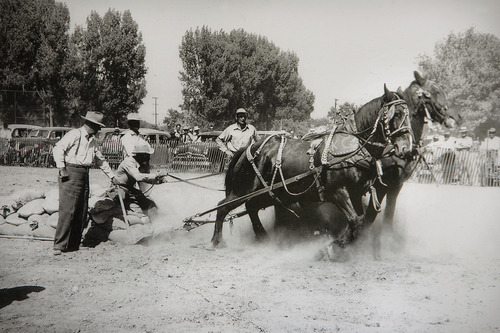 Scott Sommerdorf  |  The Salt Lake Tribune Jack McKee is shown at the reins at the West Jordan Horse Pull on July 4, 1951. McKee, now 92, is famous for his pulling horses. He and his team of Belgian draft horses, Tom and Jasper, will be featured during the Days of '47 festivities.