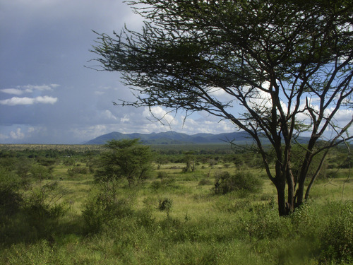 Courtesy Thure Cerling  |  University of Utah An East African savanna landscape of tree-dotted grassland is shown in this image from Samburu National Reserve in Kenya. The more heavily vegetated area in the middle distance is the corridor of the Ewaso NgiroRiver. A new University of Utah study concludes that savanna was the predominant ecosystem during the evolution of human ancestors and their chimp and gorilla relatives in East Africa.