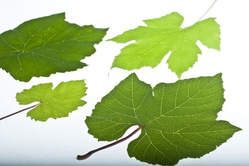 Chris Detrick  |  The Salt Lake Tribune Grape leaves used to make dolmathes.