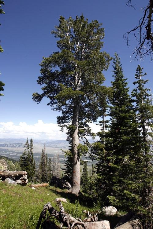 Rick Egan    The Salt Lake Tribune   Whitebark pine No. 6580 at Jackson Hole Mountain Resort is a candidate for