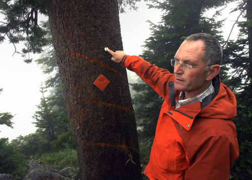 Rick Egan    The Salt Lake Tribune   Karl Buermyer, silviculturist, Bridger-Teton National Forest, talks about the whitebark pine that was saved from lit construction at a Jackson Hole Mountain Resort, Monday, August 1, 2011.