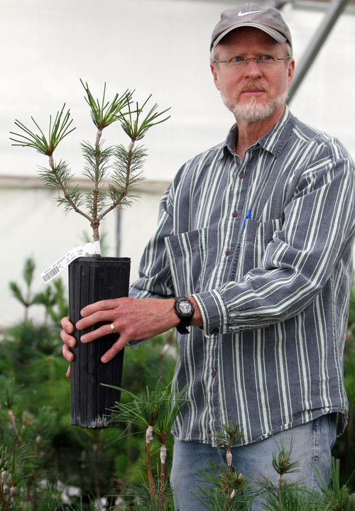 Rick Egan    The Salt Lake Tribune   Dave Foushee, horticulturist with Coeur d'Alene Forest Nursery,  inspects a whitebark pine grafted from a healthy parent that grows at Jackson Hole Mountain Resort, Wyo. Wednesday, June 29, 2011.