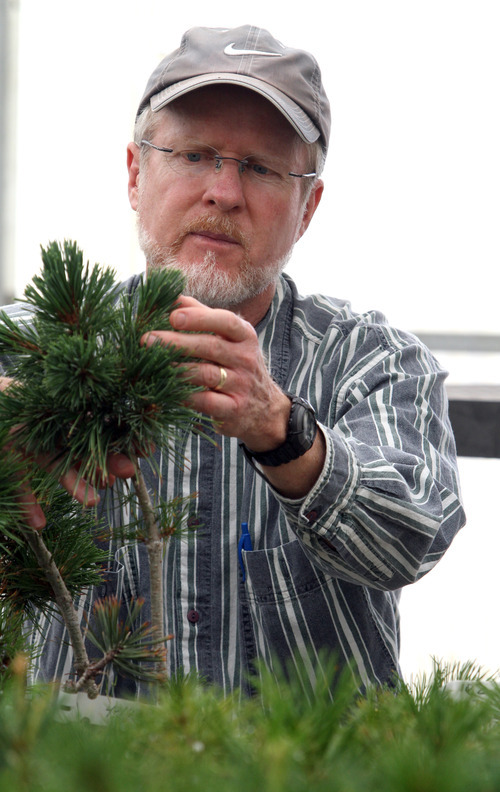 Rick Egan  | The Salt Lake Tribune   Dave Foushee, horticulturist with Coeur d'Alene Forest Nursery,  inspects a whitebark pine grafted from a healthy parent that grows at Jackson Hole Mountain Resort, Wyo. Wednesday, June 29, 2011.