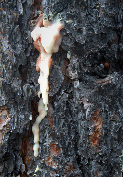 Rick Egan  | The Salt Lake Tribune   Pitch from a ponderosa pine indicates where beetles tried an attack and the tree pushed back with toxic goo.