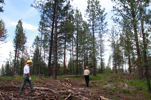 Rick Egan  | The Salt Lake Tribune   Forest Service employees Nancy Sturdevant and Cheri Hartless walk through a thinned stand of ponderosa pines above Lake Como, Mont., on Monday, Aug. 1, 2011.