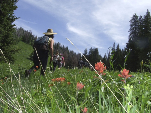 Brandon Loomis | The Salt Lake Tribune  Tree Fight volunteers march through a meadow of Indian paintbrush in early August searching for surviving whitebark pine above Togwotee Pass, Wyo.