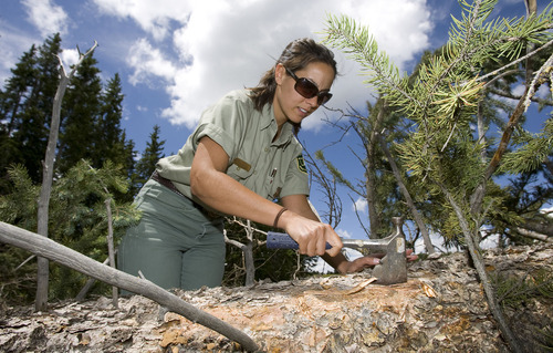Al Hartmann  |  The Salt Lake Tribune Forest Service entomologist Danielle Reboletti searches for spruce beetles on a downed tree cutting beneath the bark on a downed Engelmann spruce in Fishlake National Forest.